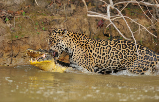 THE MOMENT a mighty 220 pound jaguar took down a crocodile has been captured by an astonished passerby. Thrilling action shots by local Luiz Claudio show the Brazillian jaguar drinking at the water's edge before slinking stealthily across and attacking the smaller predator and seemingly dragging it off to eat. The jaguar is largely a solitary, opportunistic, stalk-and-ambush apex predator and certainly proved it on this occasion. The powerful big cat wrestled with the juvenile croc in the water before taking control and biting the back of the crocodile's head until it delivered the fatal blow.